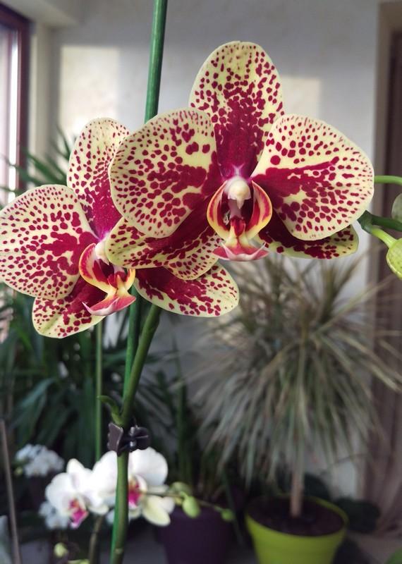 Phalaenopsis Elegant Charms Phal_410