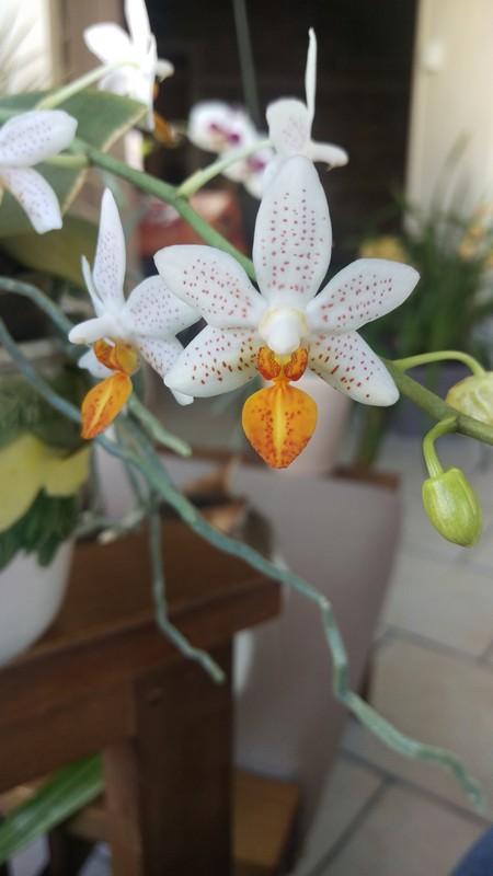 Phalenopsis mini mark Phal_411