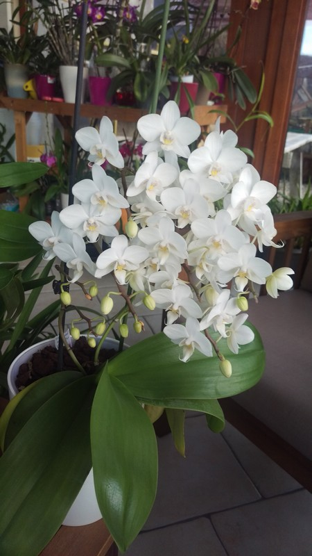 Phalaenopsis multiflora  - Page 2 Phal_m10