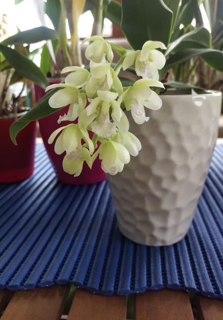 Phalaenopsis Japonica Sederi10
