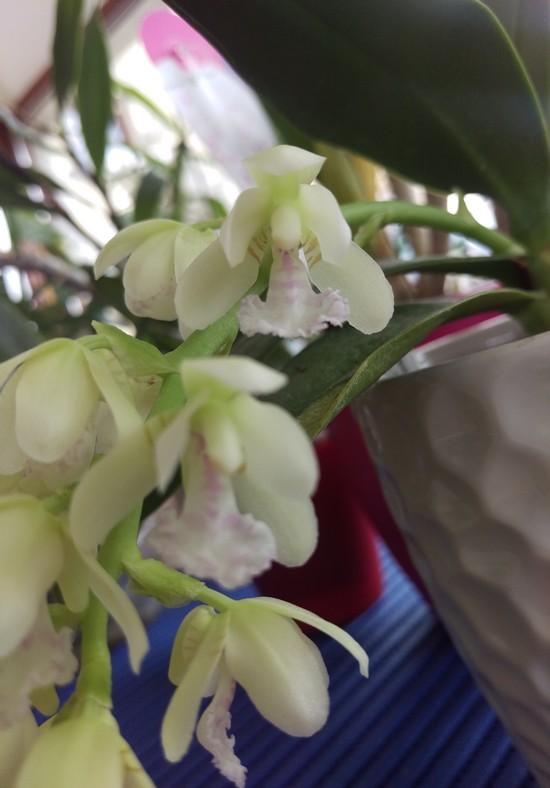 Phalaenopsis Japonica Sederi11