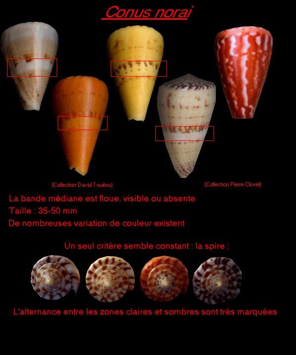 Conus (Dauciconus) daucus  Hwass in Bruguière, 1792 - Page 4 Conus_12
