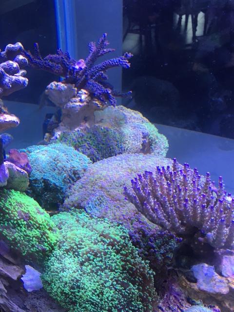Nouvelle Maison / Nouveau projet : Alexpilon's reef tank 3 - Page 3 Img_1310