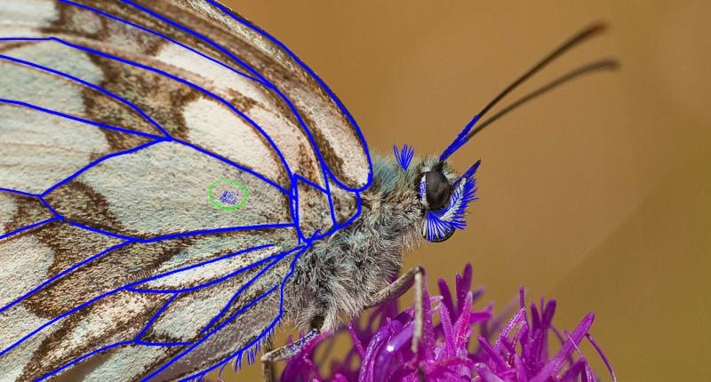 Dragon fée papillon [cyclopkilouch] Macro-11