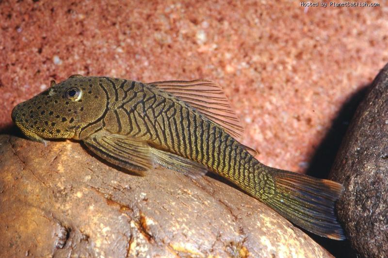 LOCARIIDES: poissons de fond - compatibles avec un aquarium. Chaeto10