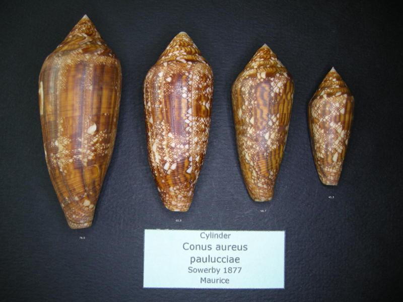 Conus (Cylinder) aureus paulucciae   GB Sowerby III, 1887 Aureus10