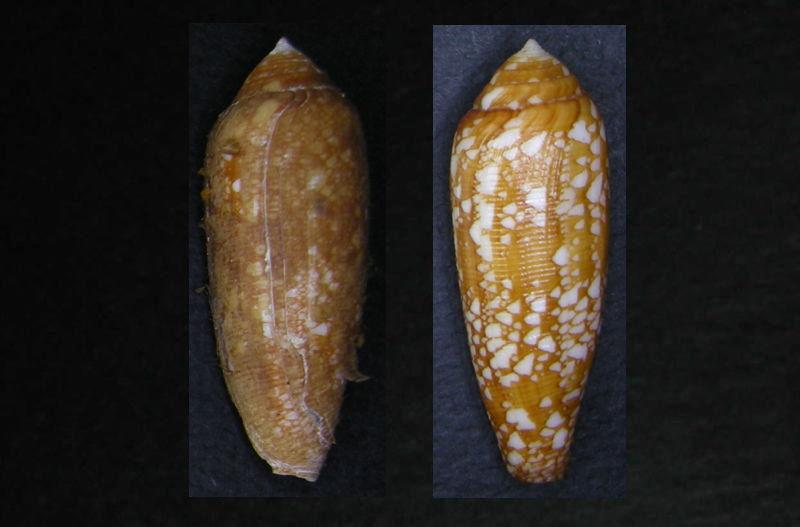 Avec et sans periostracum Aurico10