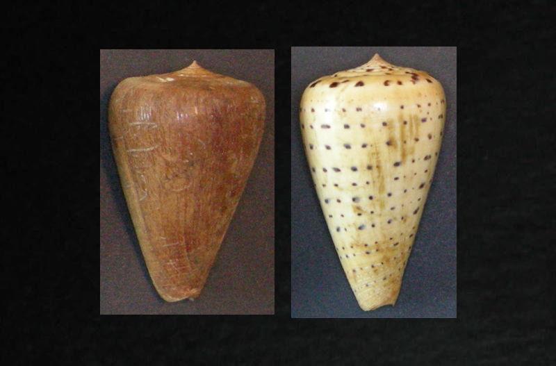 Avec et sans periostracum Betuli10