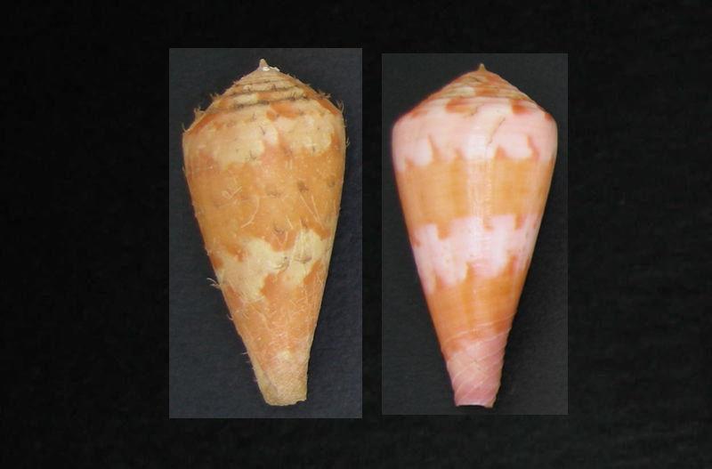 Avec et sans periostracum Pertus11