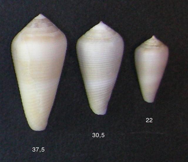 Conus sp. 128 - Conus_terebra Terebr10