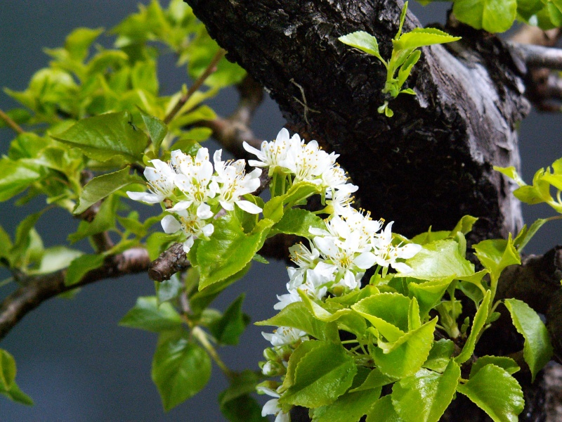 First blossoms on mahalebs Blosso11