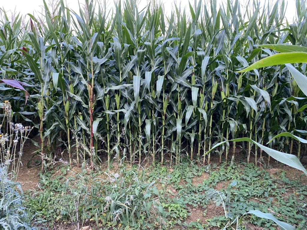 Maïs lablab B4960f10