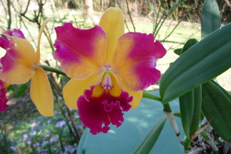 Lc. Tropical Sunset 'Cheer Girl' HCC/AOS  P1340510