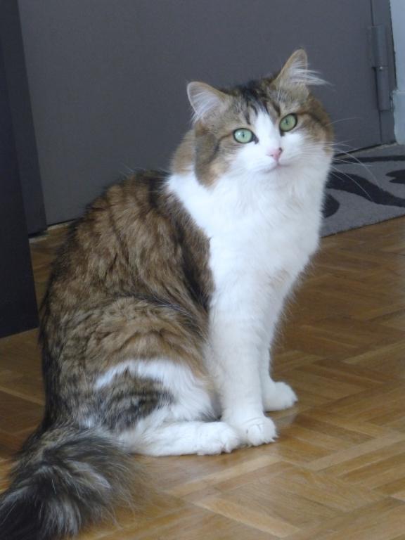 Chanel, femelle type européenne tabby et blanche angora née 15 mars 2013 - Page 7 P1140712