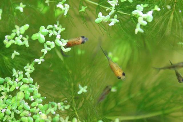 Reproduction de poissons rouge - Page 2 12733510