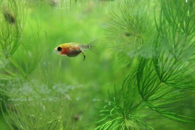Reproduction de poissons rouge - Page 2 12745810