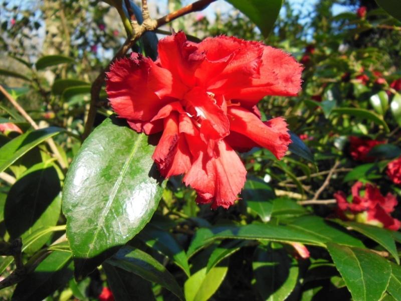 Camellia , saison 2015 - 2016 - Page 2 Ville_10