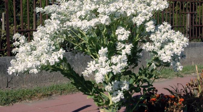 Baštenska mlečika---Euphorbia-Euphorbia marginata Www210