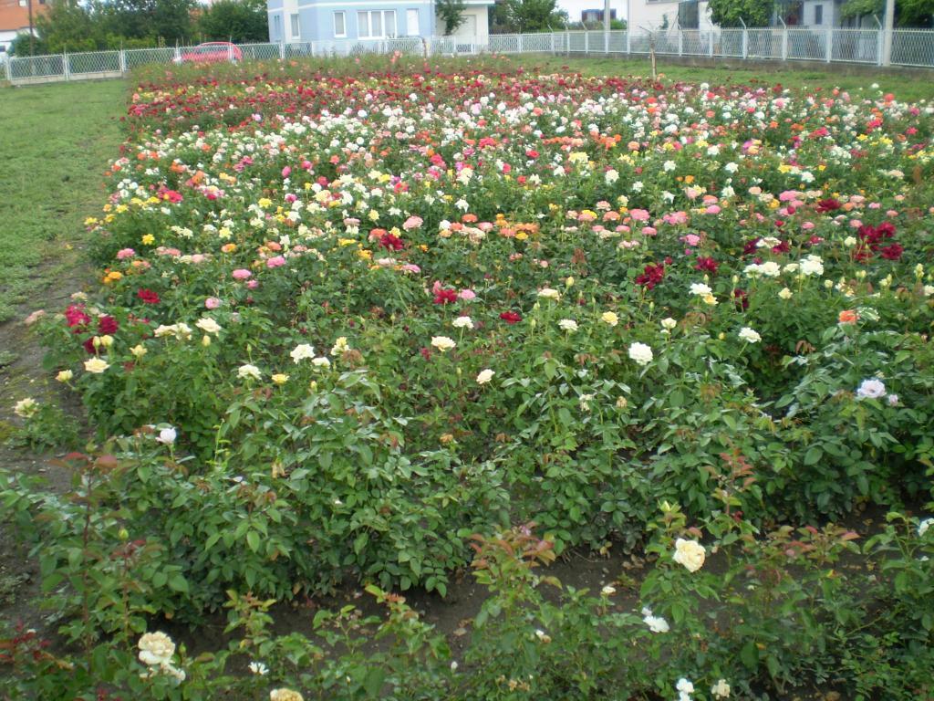 Rezano cvijeće P7260510
