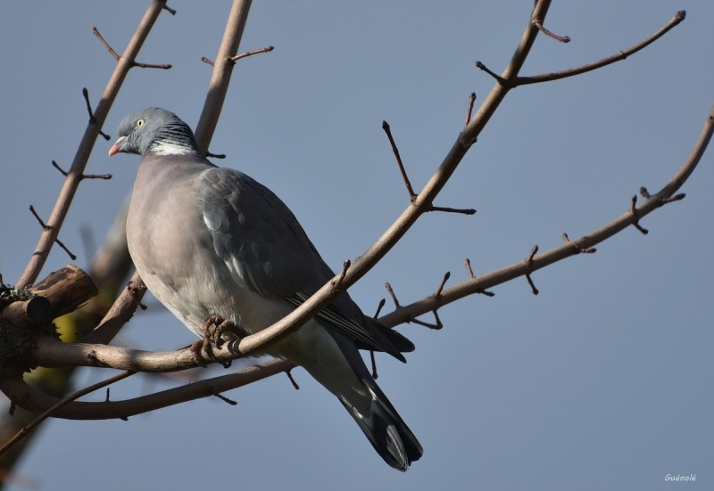 Le pigeon du jour. Le_pig10