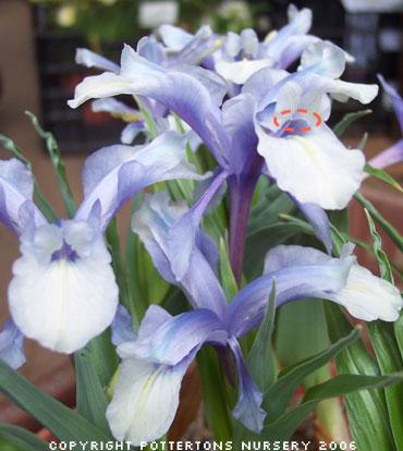 iris juno, fécondation Iris-a10