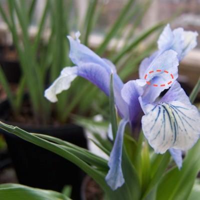 iris juno, fécondation Iris_a10