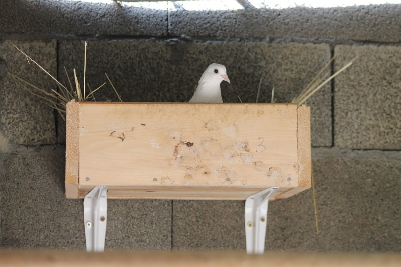 pigeons qui aboient (Pigeons domestiques). - Page 2 Img_1511