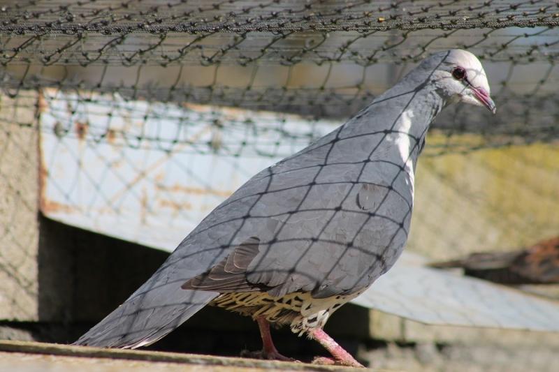 pigeons qui aboient (Pigeons domestiques). - Page 2 Img_1513