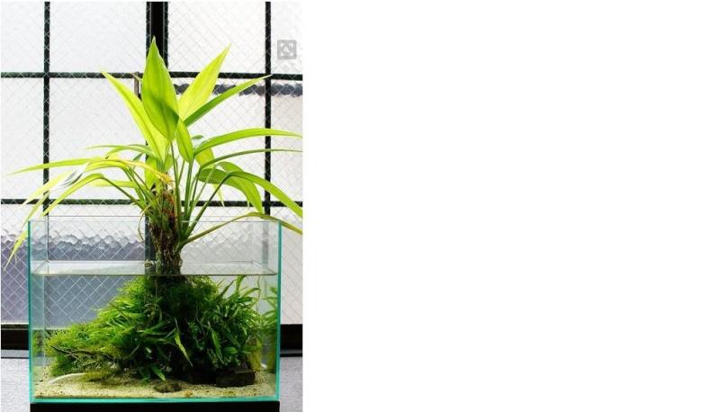 """Les """"Autres"""" plantes, (papyrus, bambous etc.) Plante10"""