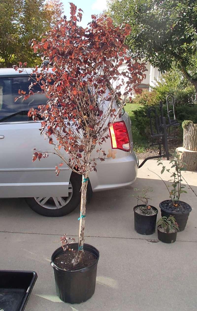 Physocarpus opulifolius Oct_2012