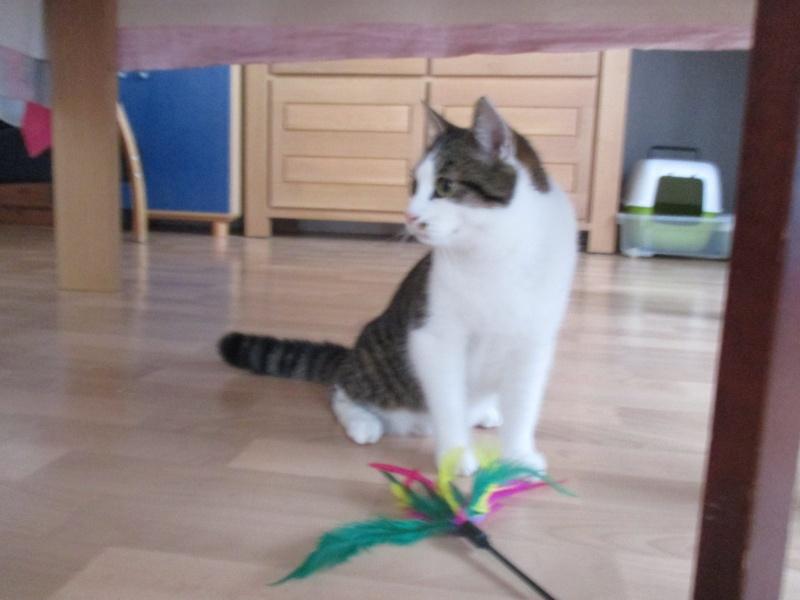 lucious - Lucious, jeune chat mâle de type européen, tabby fauve et blanc, né en Juillet 2015 Img_4213