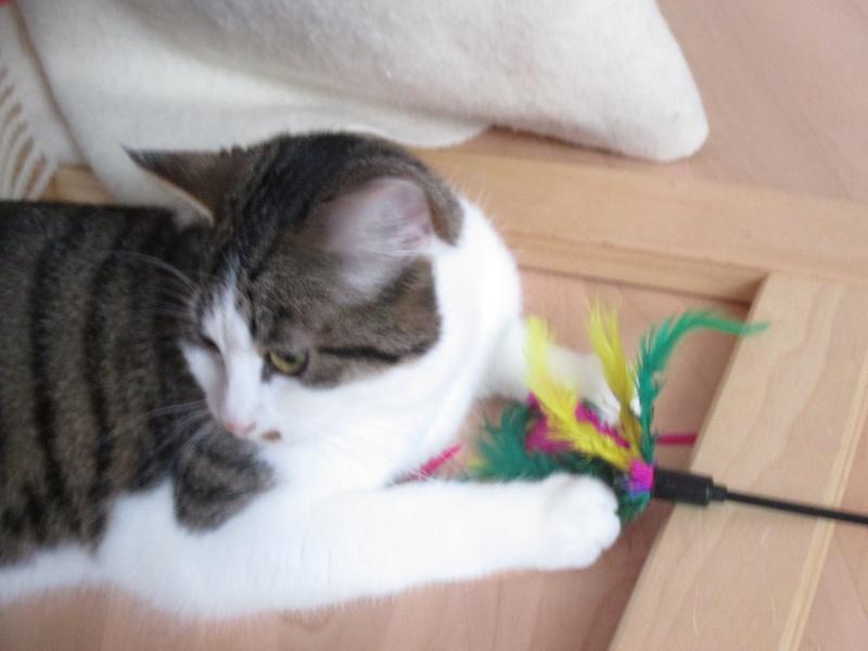 lucious - Lucious, jeune chat mâle de type européen, tabby fauve et blanc, né en Juillet 2015 Img_4215