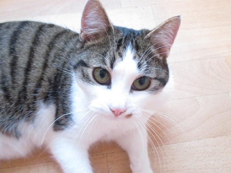 lucious - Lucious, jeune chat mâle de type européen, tabby fauve et blanc, né en Juillet 2015 Img_4218