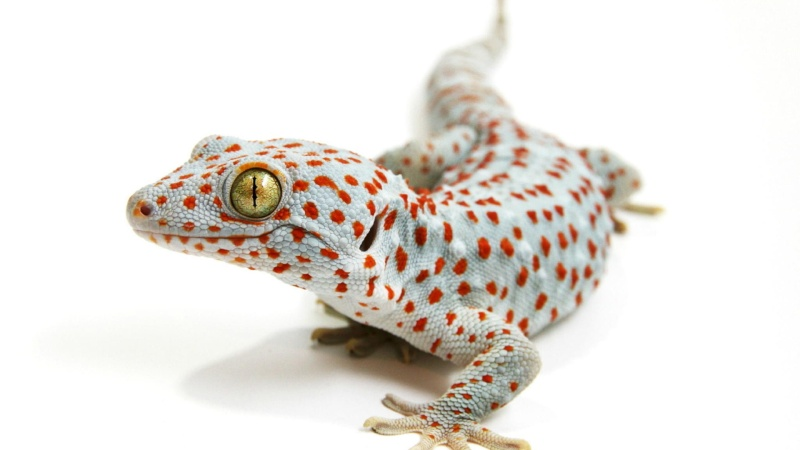 Gecko tokay Tokay-10
