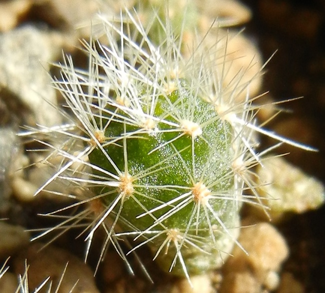 Brachycereus nesioticus Dscn8657