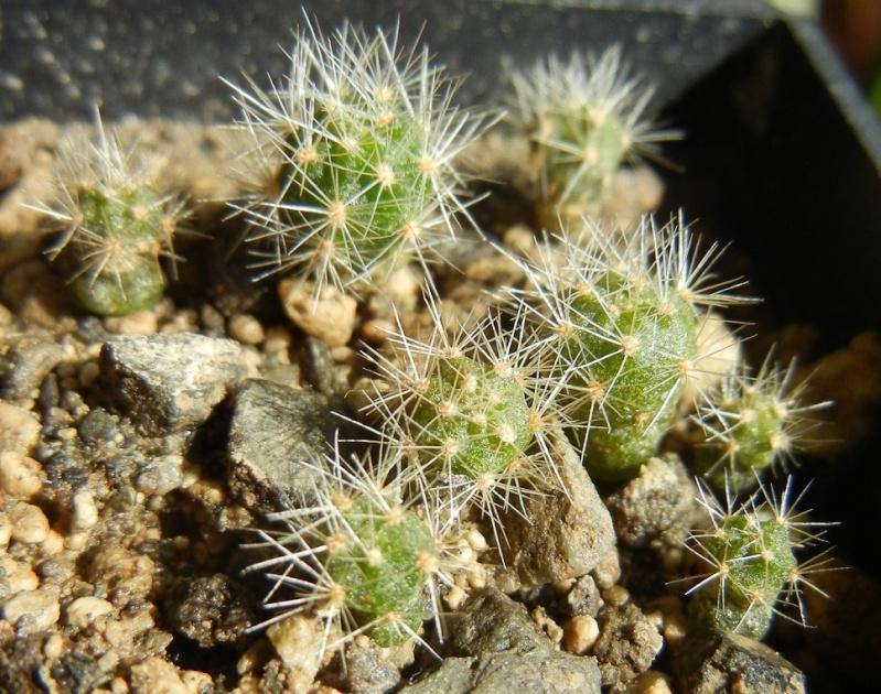 Brachycereus nesioticus Dscn8658