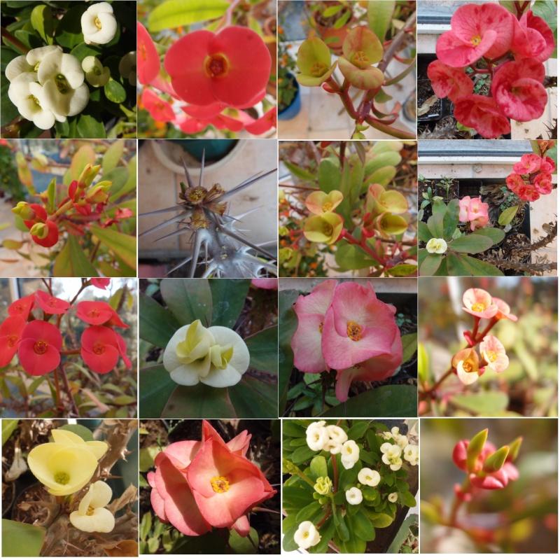 Floraisons de Mars - Page 15 Euphor12