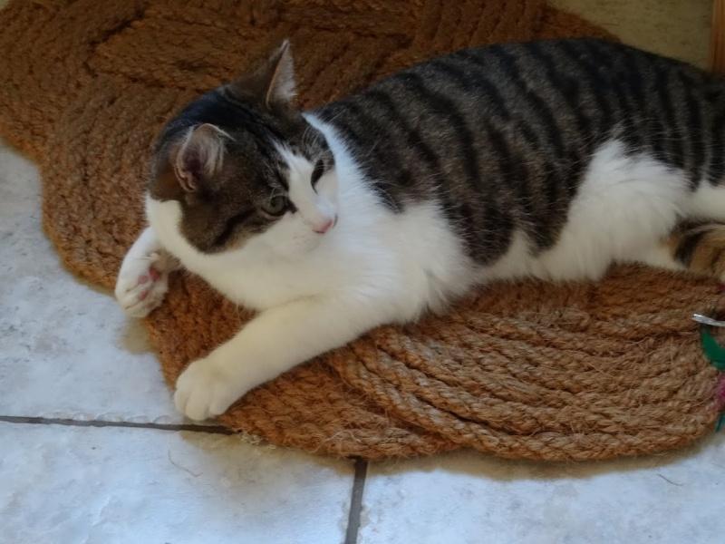 lucious - Lucious, jeune chat mâle de type européen, tabby fauve et blanc, né en Juillet 2015 Dsc01810