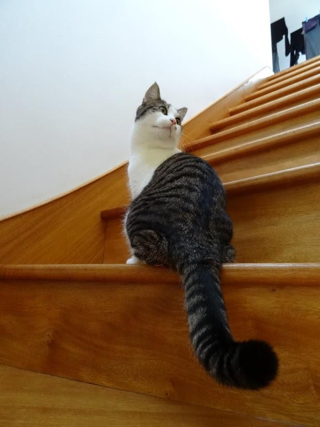lucious - Lucious, jeune chat mâle de type européen, tabby fauve et blanc, né en Juillet 2015 Dsc01811