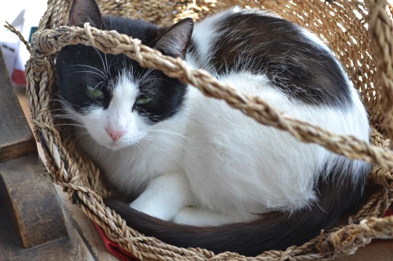 jalla - Jalla, femelle européenne noire et blanche, née le 15/09/2014 Dsc_0014
