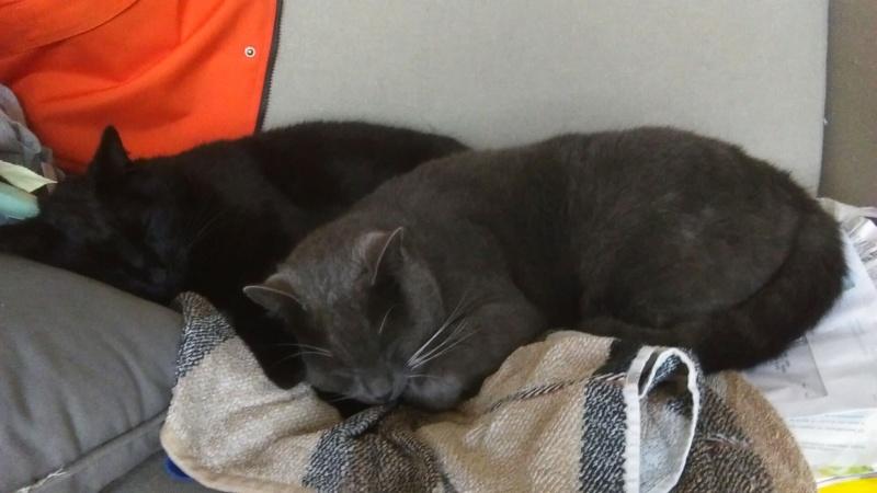 JOLICOEUR BIS, chat européen gris et blanc, né en mars 2013 Imag1010