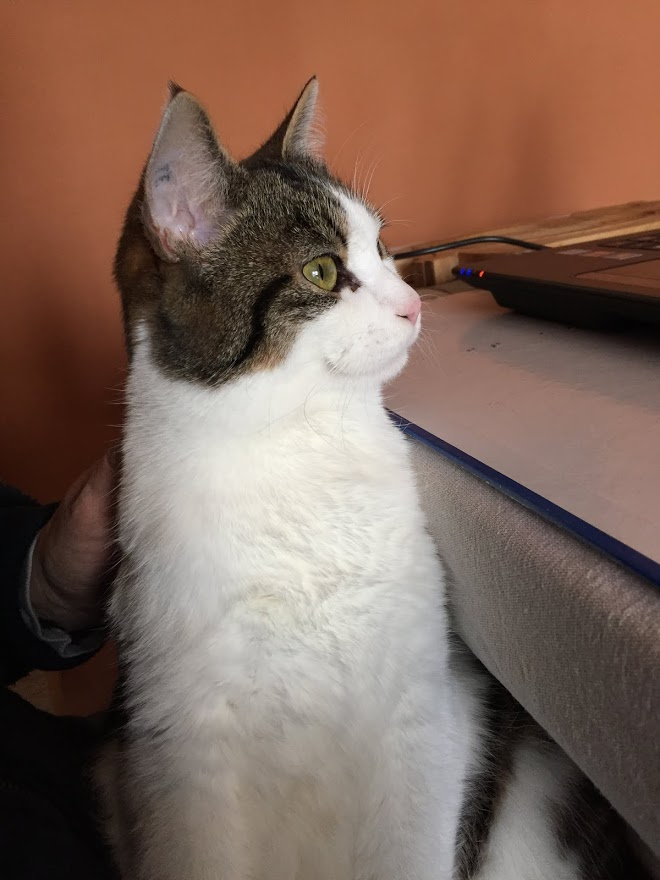 lucious - Lucious, jeune chat mâle de type européen, tabby fauve et blanc, né en Juillet 2015 Img_1210