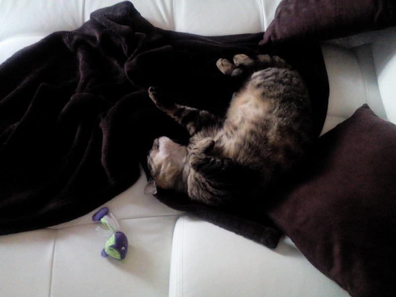GLAMOUR, chatte européenne tigrée, née en 2011 Img_2015