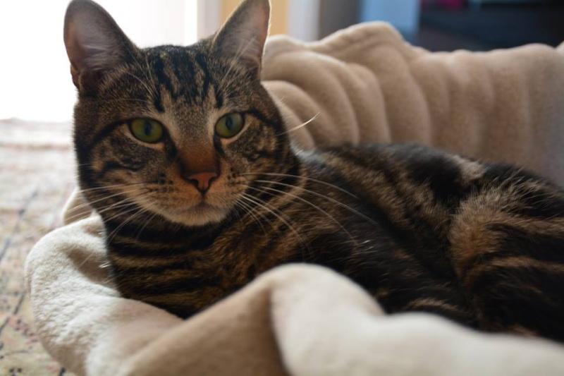 LOOPING, chaton mâle tigré, né le 20/03/2015 Loopin10