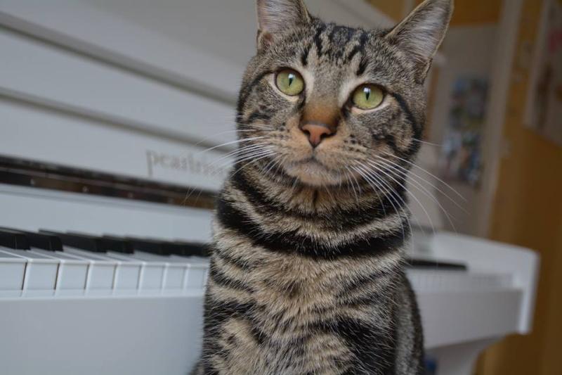 LOOPING, chaton mâle tigré, né le 20/03/2015 Loopin11
