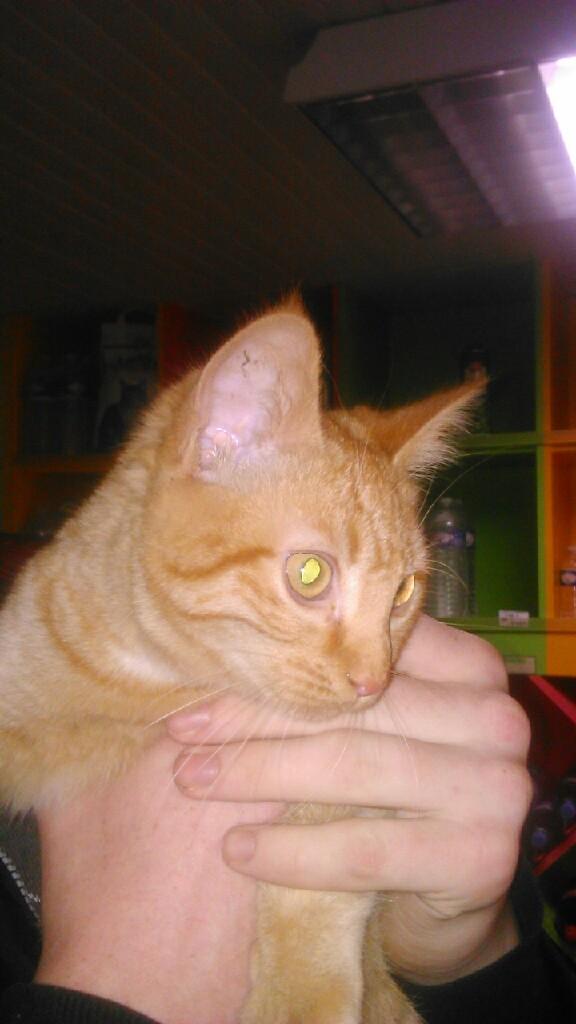 largo - LARGO, chaton européenne tigré roux, né en Novembre 2015 Mms_im10