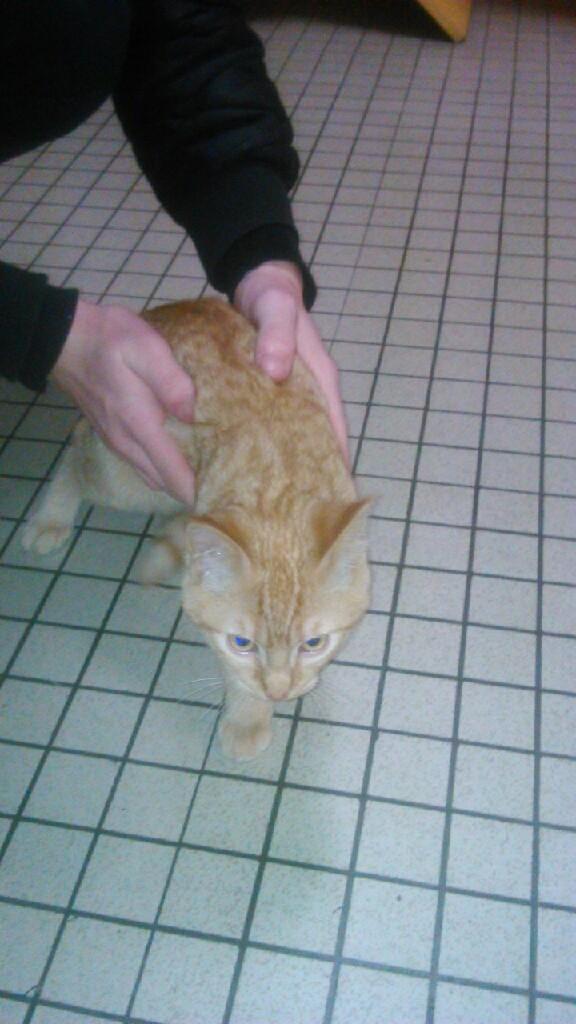 largo - LARGO, chaton européenne tigré roux, né en Novembre 2015 Mms_im14
