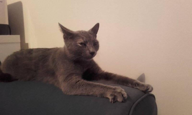 Isabelle, femelle type européen grise estimée née 12/02/2015 12596210