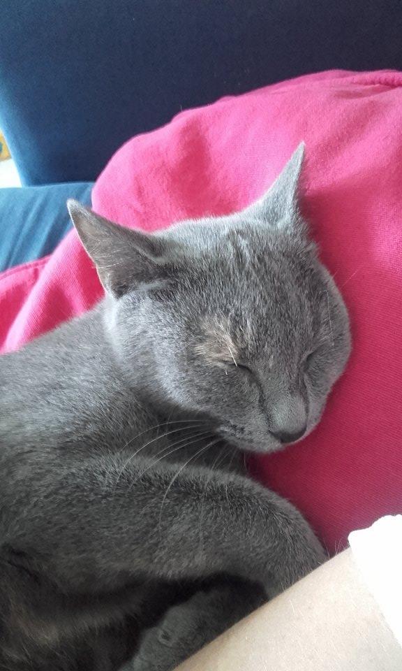 Isabelle, femelle type européen grise estimée née 12/02/2015 12784210