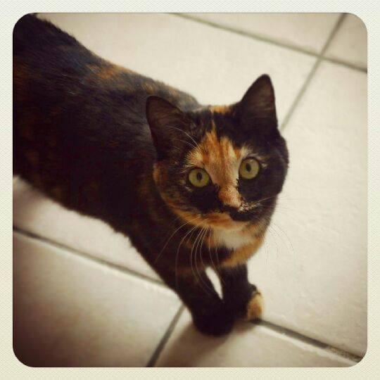 Lana, femelle type européenne écaille de tortue née 15/04/2015 - Page 5 12784410